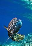 Napoleon wrasse Chelinus undulatus South Passage Fakarava, French Polynesia
