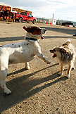 USA, Wyoming, Encampment, two dogs scrap in the road, Big Creek Ranch