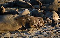 Northern Elephant Seal; (Mirounga angustirostris); Piedras Blancas; San Simeon; California breeding grounds; rookery mating season