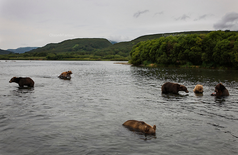 Kurilskoe Lake Preserve is a world heritage site and bears thrive on rich salmon although there is serious poaching in the region.