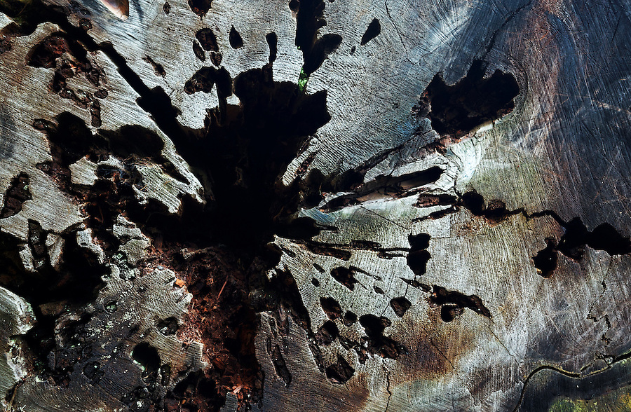 Cross-section of hollowed out tree trunk, Prairie Creek Redwoods State Park, Humboldt County, California, USA