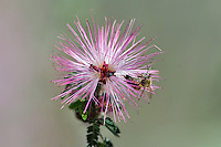 Fairy Duster (Calliandra eriophylla) common shrub native to deserts and arid grasslands in California, Arizona, New Mexico and Texas and Mexico with honeybee.  Arizona,  Feb-March.