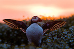 Atlantic Puffin (Fratercula arctica) flapping wings at sunrise, Skomer Island National Nature Reserve, Skomer Island, Pembrokeshire, Wales, United Kingdom