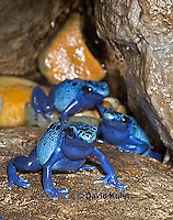 0929-07uu  Dendrobates azureus - Blue Poison Arrow Frog ñ Blue Dart Frog  © David Kuhn/Dwight Kuhn Photography