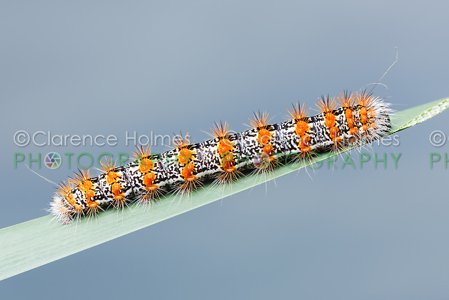 A Cattail Caterpillar Moth (Simyra insularis), aka Henry's Marsh Moth, caterpillar (larva)  perches on a blade of marsh grass.