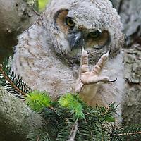 Great Horned Owls & Raccoons, Mount Auburn Cemetery