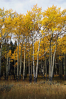 In a good year, the splendor of  aspens above Mammoth in Yellowstone is unparallelled. Aspen has been traditionally reputed in many countries to drive off evil spirits, hence it was often planted near the dwellings.