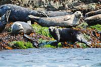 Asian sea otter, Enhydra lutris lutris, endangered species, hauling out on rocky shore with harbor seals, Phoca vitulina, Cape Erimo, Hokkaido, Japan, Pacific Ocean