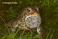 FR11-538z  American Toad Male singing for mate, Bufo americanus or Anaxyrus americanus