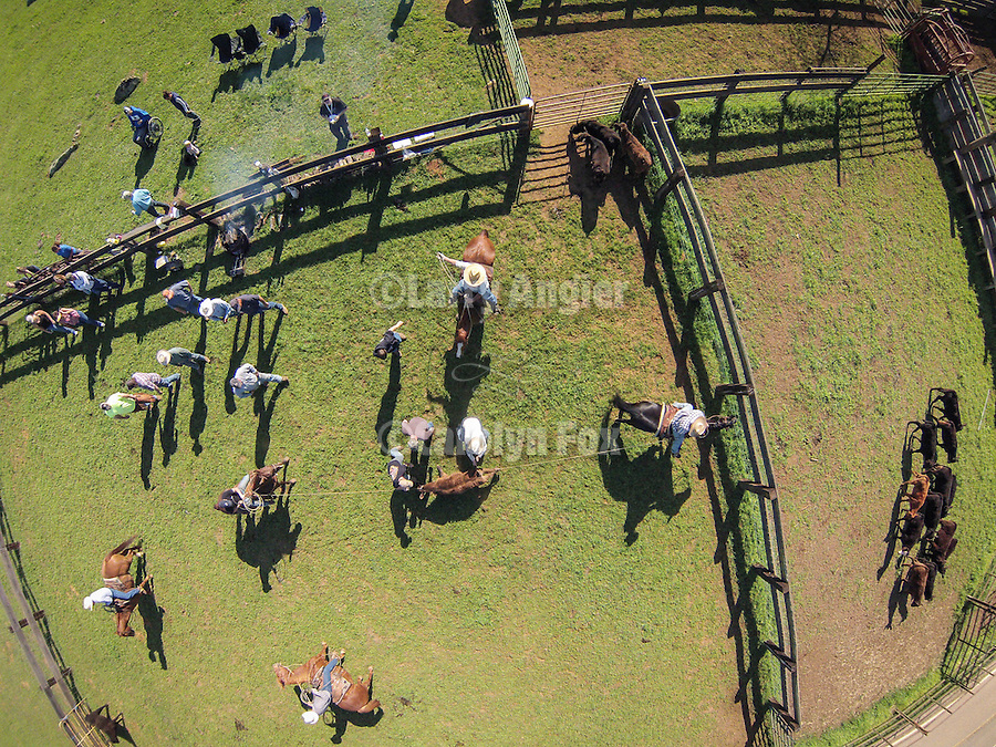 Calf branding and marking at the Stoney Creek Corral with the Busi family, Amador County, Calif. photographed from above using a small UAV/quadcopter.