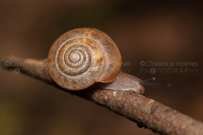 Queen Crater Snail (Appalachina chilhoweensis), Great Smoky Mountains National Park