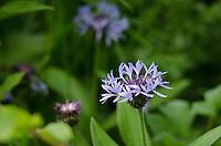 Perennial Cornflower {Centaurea montana} Growing Near Arkwright