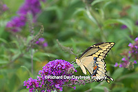 03017-01115 Giant Swallowtail butterfly (Papilio cresphontes) on Butterfly Bush (Buddlei davidii),  Marion Co., IL