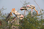 Painted Stork, Mycteria leucocephala, Keoladeo Ghana National Park, Rajasthan, India, formerly known as the Bharatpur Bird Sanctuary, young on nest, baby, UNESCO World Heritage Site.India....