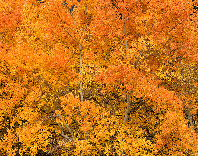 Detail of brilliant fall color of aspen (populus tremuloides) glowing orange in the morning light at Moraine Park, Rocky Mountain National Park: October in the Rocky Mountains.
