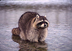 Raccoon in water