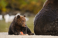 A photo of a grizzly cub eating salmon while sitting behind its mothers big butt. Grizzly Bear or brown bear alaska Alaska Brown bears also known as Costal Grizzlies or grizzly bears