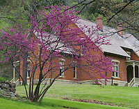 Nelson Dewey State Park, WI: Flowering Eastern  Redbud (Cercis canadensis) in front of Governor Dewey's brick home