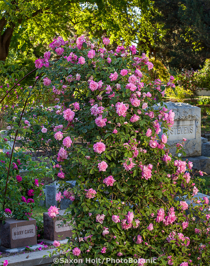 'Florence Bower's Pink Tea' - old climbing tea rose flowering on trellis in Sacramento Old City Cemetery