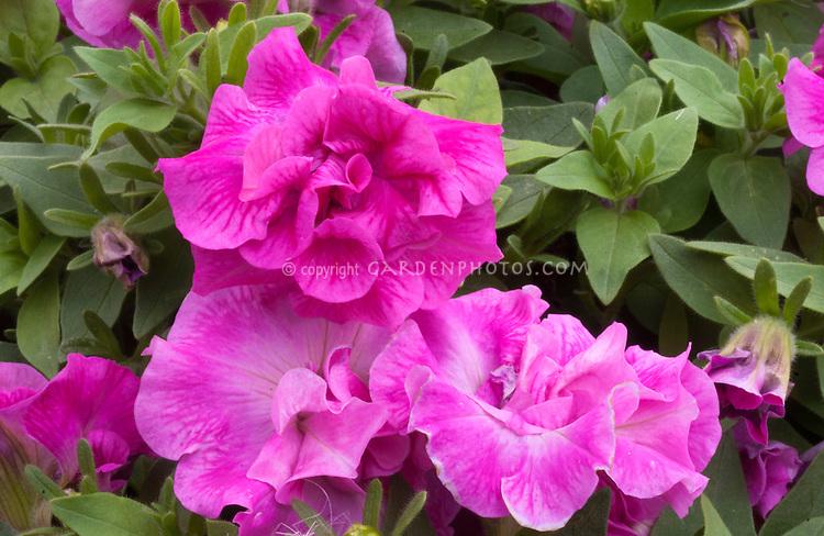 Petunia (Tumbelina Seies) Eliza ('Kereliza'), double pink flowers, hybridizer David Kerley