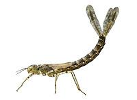 Red-eyed Damselfly larvae - Erythromma najas