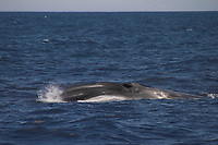 fin whale, Balaenoptera physalus, Azores Islands, Portugal, North Atlantic