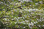 Wild dogwood in Belleplain State Forest, Dennis, NJ, USA