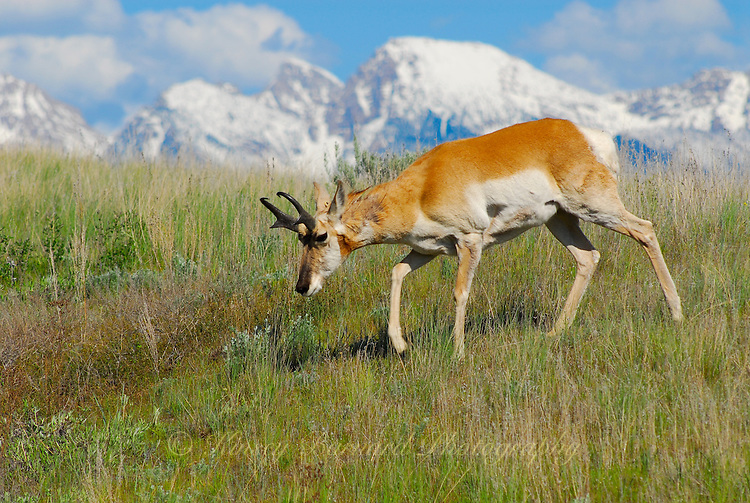 A pronghorn antelope on the move through fresh spring grass in Montana. the snow capped Mission Mountain loom in the background