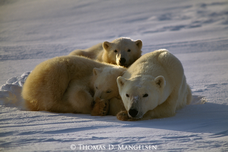 A polar bear rests in the snow with her two cubs.