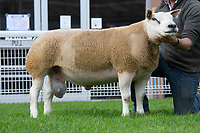 N.S.A Wales & Border Ram Sales, Royal Welsh Showground<br /> Lot 3578 owned by JE & SJL James sold for 4400gns<br /> ©Tim Scrivener Photographer 07850 303986<br />      ....Covering Agriculture In The UK....