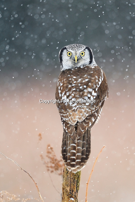 a northern hawk owl perched on a snag in a snowstorm