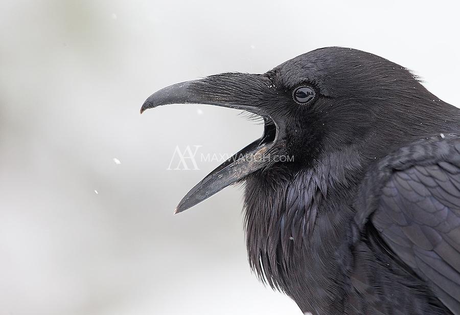 A favorite avian subject in Yellowstone.