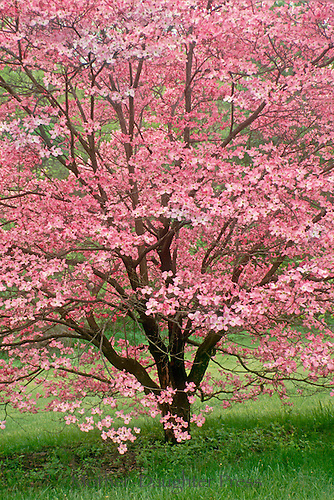 Stunning pink dogwood tree in full spring bloom