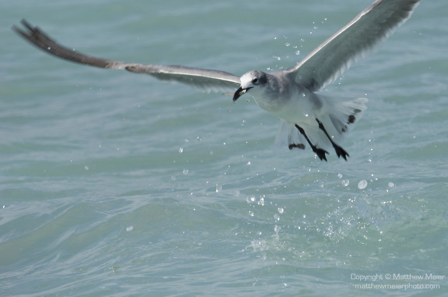 Captiva Island, Florida; a Laughing gull (Larus atricilla) bird, second year immature, flies off with a bait fish, caught in the shallow water near shore © Matthew Meier Photography, matthewmeierphoto.com All Rights Reserved