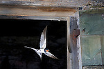 Barn swallow leaving a stable door.