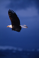 Profile portrait of a Bald eagle (Haliaeetus leucocephalus) in flight.