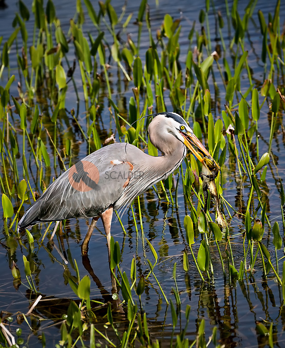 Great Blue Heron standing in water with large frog in mouth