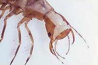 Gelbrandkäfer, Gelbrand-Käfer, Gelbrand, Larve, Käferlarve, Dytiscus marginalis, great diving beetle, larva, larvae, Schwimmkäfer, Dytiscidae