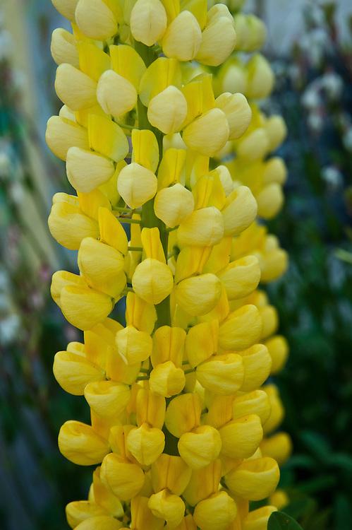 Lupinus 'Saffron', early July.
