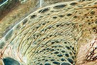 green sea turtle, Chelonia mydas, wrinkled skin details, Abu Dabbab, Egypt, Red Sea, Indian Ocean