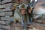Macaque monkeys on hte temple ruines