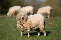 United Kingdom, England, Gloucestershire, Cotswolds, Naunton: Cotswold Lion breed of sheep | Grossbritannien, England, Gloucestershire, Cotswolds, Naunton: Cotswold Lion Schafe