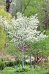 3512-CA Cumulus Shadblow, Tree, Amelanchier laevis `Cumulus' @ Lyndale Garden Park, Minnesota