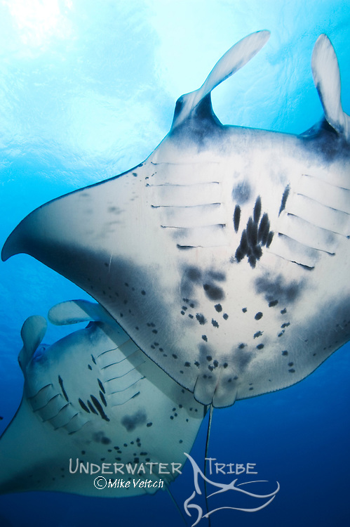 Two Manta Rays in formation, Manta birostris, Goofnuw Channel, Valley of the Rays, Yap, Micronesia, Pacific Ocean