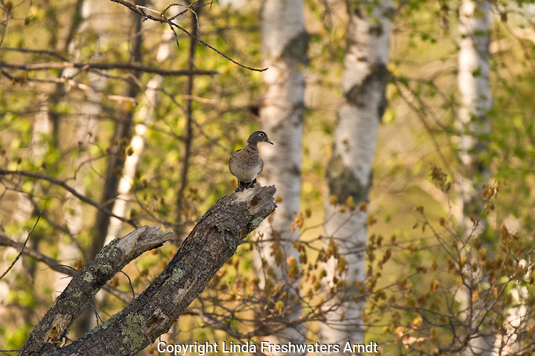 Female wood duck perched on a snag