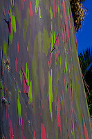 A colorful close-up of rainbow eucalyptus bark in Waipi'o Valley, Big Island.