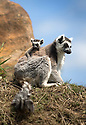 16/05/16<br /> <br /> &quot;Where are we going now mum?&quot;<br /> <br /> Three baby ring-tail lemurs began climbing lessons for the first time today. The four-week-old babies, born days apart from one another, were reluctant to leave their mothers&rsquo; backs to start with but after encouragement from their doting parents they were soon scaling rocks and trees in their enclosure. One of the youngsters even swung from a branch one-handed, at Peak Wildlife Park in the Staffordshire Peak District. The lesson was brief and the adorable babies soon returned to their mums for snacks and cuddles in the sunshine.<br /> All Rights Reserved F Stop Press Ltd +44 (0)1335 418365