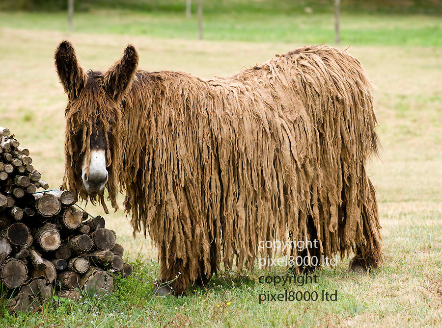 "Dreadlocked Donkey in France...""Time you had a haircut, mum!""...Rare Le Baudet donkeys being bred in Poitou-Charente France...Special breeding programme at this donkey sanctuary aims to boost the numbers of the weird  looking animal...Long haired female donkey is called Lambada with her daughter Azalee who was born in April this year...The gestation period is 12 and a half months and most donkeys only produce a live foal every 4 years. When the animal is fully grown in two years it  may have the same long shaggy dreadlocks. Sometimes they do no grow as long and sometimes the drealocks fall out......Picture by Gavin Rodgers/ Pixel 07917221968"