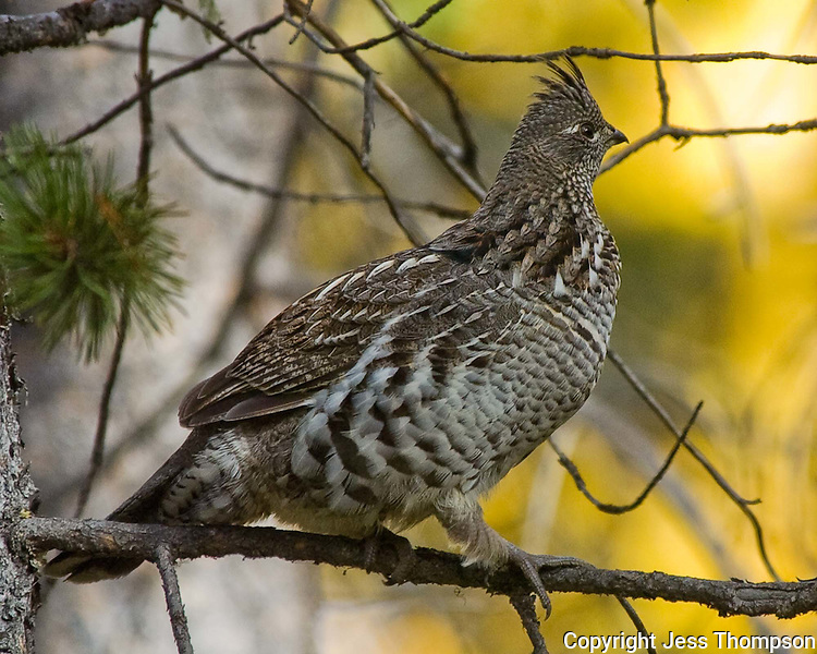 Ruffed Grouse, Grand Tetons National Park, Wyoming