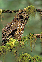 Spotted Owl in Mt. Baker National Forest, Washington